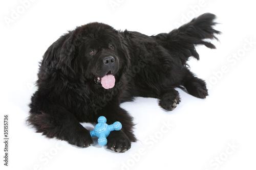 terre neuve allongé avec son jouet entre les pattes Poster