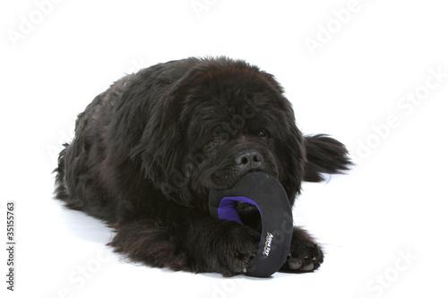 terre neuve mordillant son jouet pour chien Poster