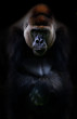 Portrait of gorilla - 35157708