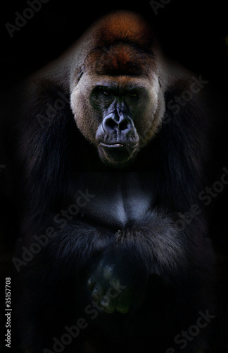 Foto op Canvas Aap Portrait of gorilla