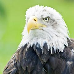 Aguila de cabeza blanca