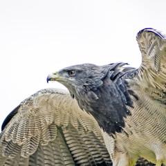 Aguila escudada 2