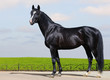 Black Trakehner stallion