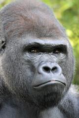 1109028 - Gorilla im Portrait