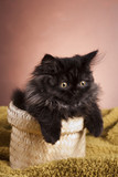 Young Longhair cat in basket poster