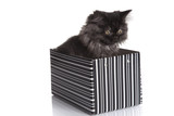Young Longhair cat in box poster