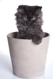 Young Longhair cat in pot poster