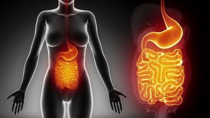 Female GUTS STOMACH anatomy in black detail loop
