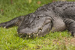 American Alligator Resting On Grass