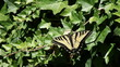 swallowtail butterfly on ivy