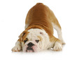 playful bulldog