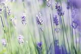 Fototapety lavender art