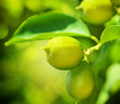 Growing Organic Lemons