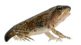Common Frog, Rana temporaria, young metamorphosis at 14 weeks
