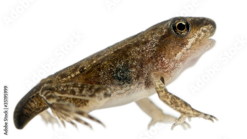 Common Frog, Rana temporaria, young metamorphosis at 14 weeks - 35195999