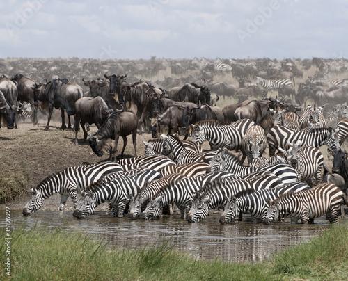 Aluminium Zebra Zebras drinking at the Serengeti National Park, Tanzania, Africa