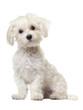 Maltese puppy, 6 months old, sitting