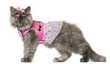 Persian kitten dressed in pink, 3 months old