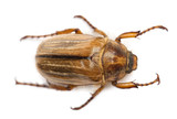 Summer chafer or European june beetle, Amphimallon solstitiale poster