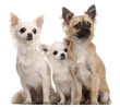 Three Chihuahuas, 5 years old and 8 months old, sitting