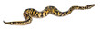 Female Pastel calico Python, Royal python or ball python