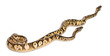 Female and Male Pastel calico Pythons, Royal python
