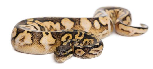 Male Pastel calico Python, Royal python or ball python