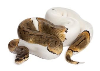 Female Pinstripe Pied Royal python, ball python, Python regius