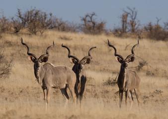 Three adult kudu bulls