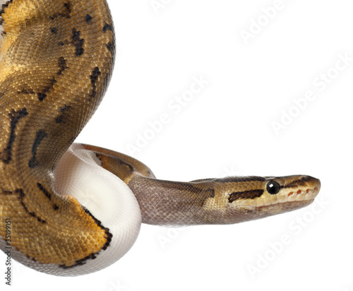 Close-up of Female Pinstripe Pied Royal python, ball python