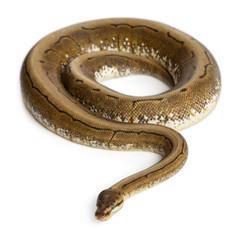 Spinner Python, Royal python, ball python, Python regius