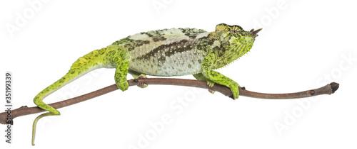 Staande foto Kameleon Four-horned Chameleon, Chamaeleo quadricornis, perched on branch