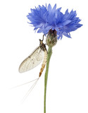 Mayfly, Ephemera danica, on flower in front of white background poster