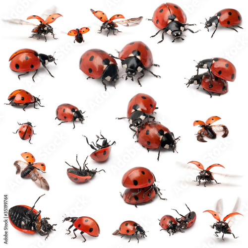 Collection of Seven-spot ladybirds, Coccinella septempunctata