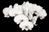 White Orchids isolated on Black - 35203723