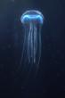 deep sea jellyfish