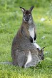 Bennett-Känguru-Familie