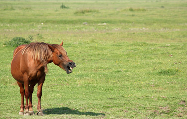 brown horse neigh