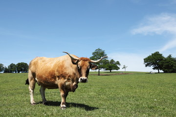 Aubrac Beef Cow Portrait Summer Pasture