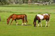 Two horses grazing on grassland