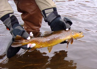 Releasing Beautiful Brown Trout, Fly Fishing Green River of Utah