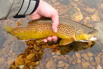 Releasing Brown Trout, Fly Fishing a clear river