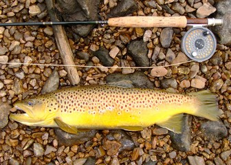 Large Brown Trout, fly fishing rod and reel