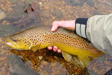 Releasing Beautiful Brown Trout, Fly Fishing