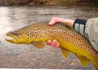 Large Brown Trout, Salmo trutta, Fly Fishing White River