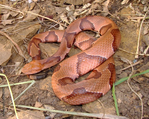 Osage Copperhead, Agkistrodon contortrix phaeogaster