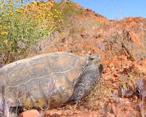 Threatened Desert Tortoise, Gopherus agassizii, and wildflowers