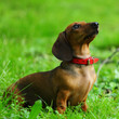 dachshund on grass