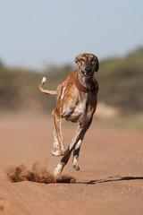 A greyhound running full speed