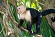 Capucin Monkey, Costa Rica